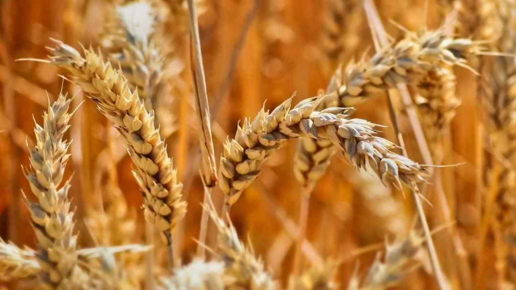 Un campo de trigo.