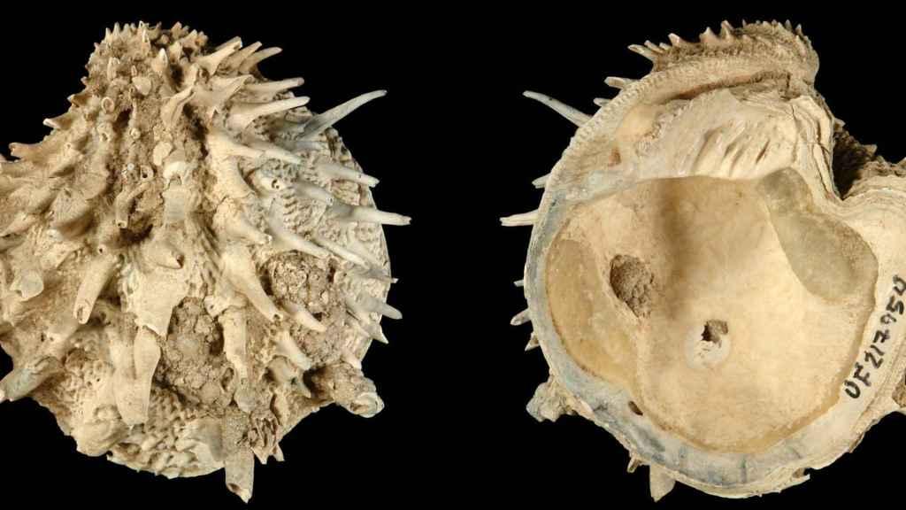 Arcinella cornuta, un tipo de almeja que formaba parte de la muestra analizada por los investigadores
