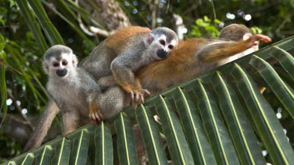 Los Saimiri o monos ardilla hicieron que el joven se arrepintiese de su osadía.