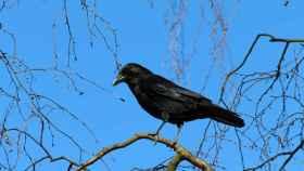 Un cuervo observando a su próxima víctima.