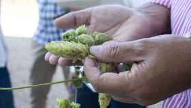 La flor de lúpulo, ingrediente básico de la cerveza.