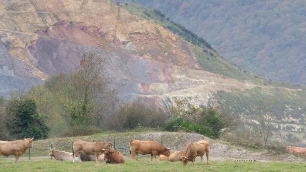 Vacas pastando en la antigua mina de oro