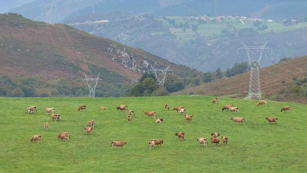 Un rebaño de vacas alimentándose entre veneno