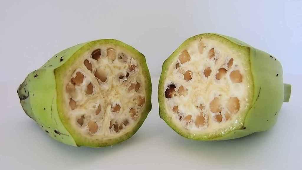 Las semillas de Musa acuminata y Musa balbisiana eran mucho mas grandes
