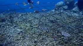 biorock impulsos electricos arrecifes de coral