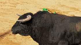 Toro de El Vellosino presuntamente 'afeitado' en Guijuelo