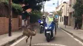 La policía persigue un emú por las calles de San Cugat y acaba muerto