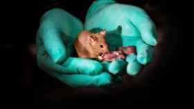 Crías sanas de ratón nacidas de dos madres