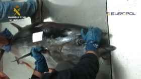Atunes pescados ilegalmente