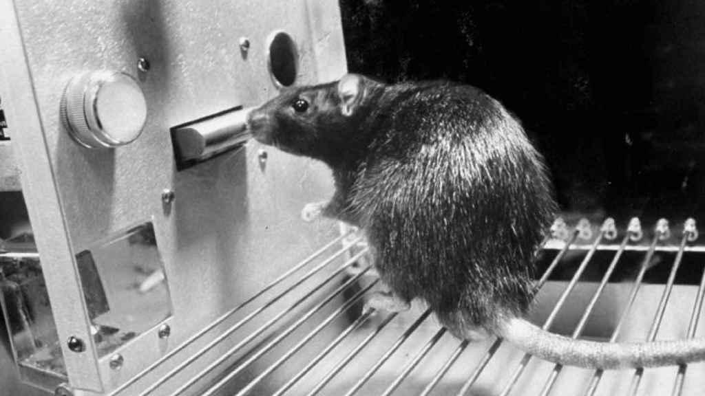 Una rata en una caja de Skinner