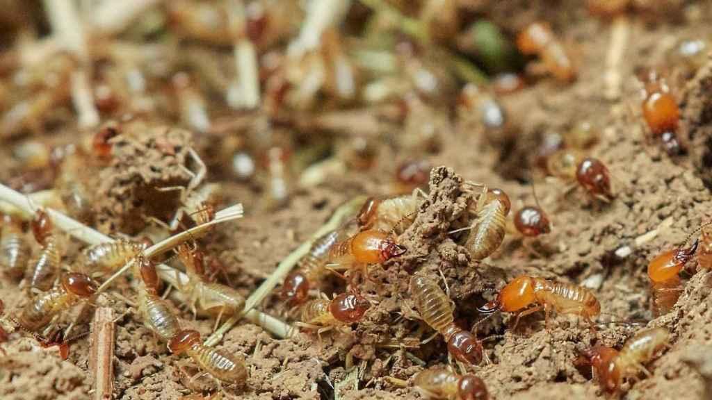 Las termitas lo demuestras: la reproducción es posible sin machos