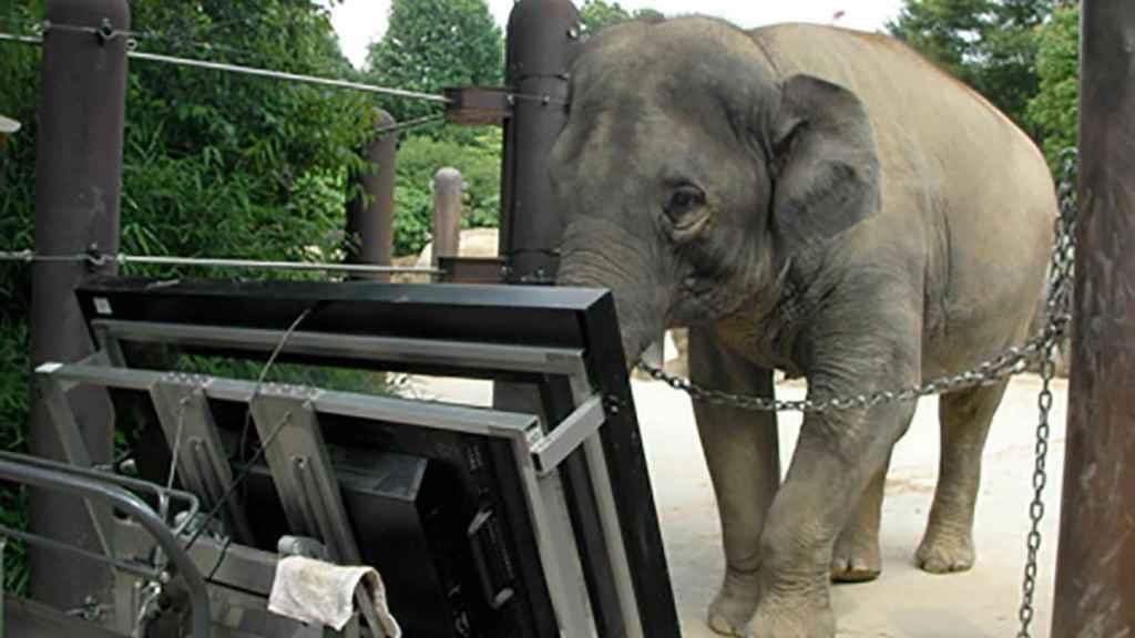 La elefanta Athai realiza operaciones matemáticas con la trompa y una pantalla táctil.