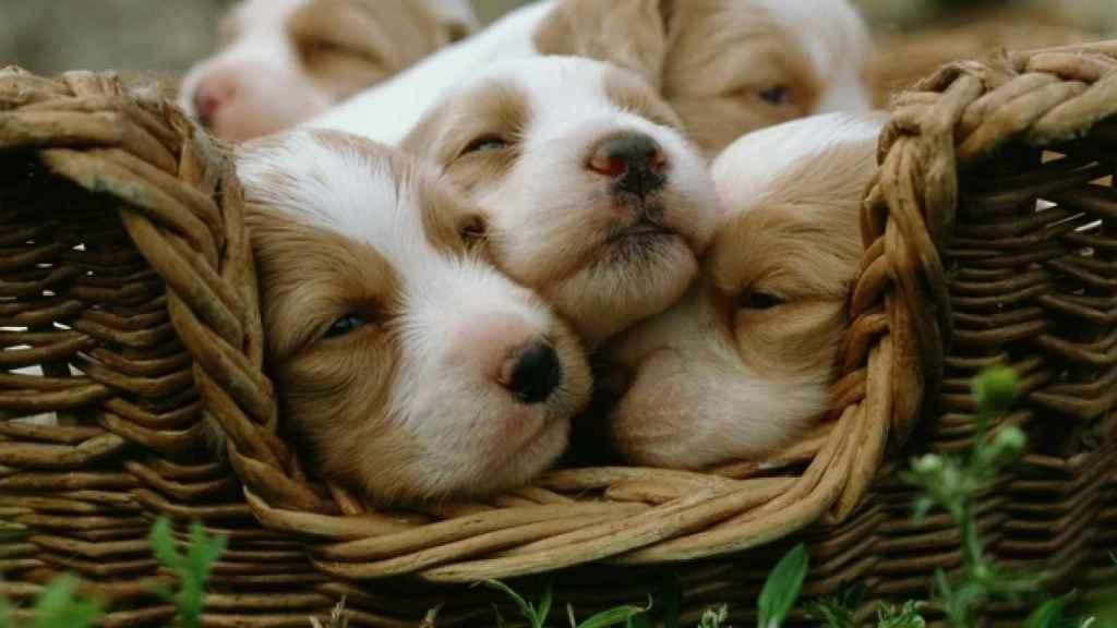 Una camada de cachorros de cocker spaniel.