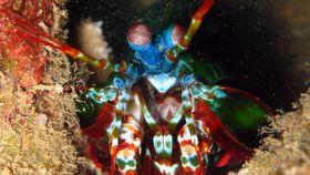 La langosta mantis es el insecto con el puño más potente del mundo.