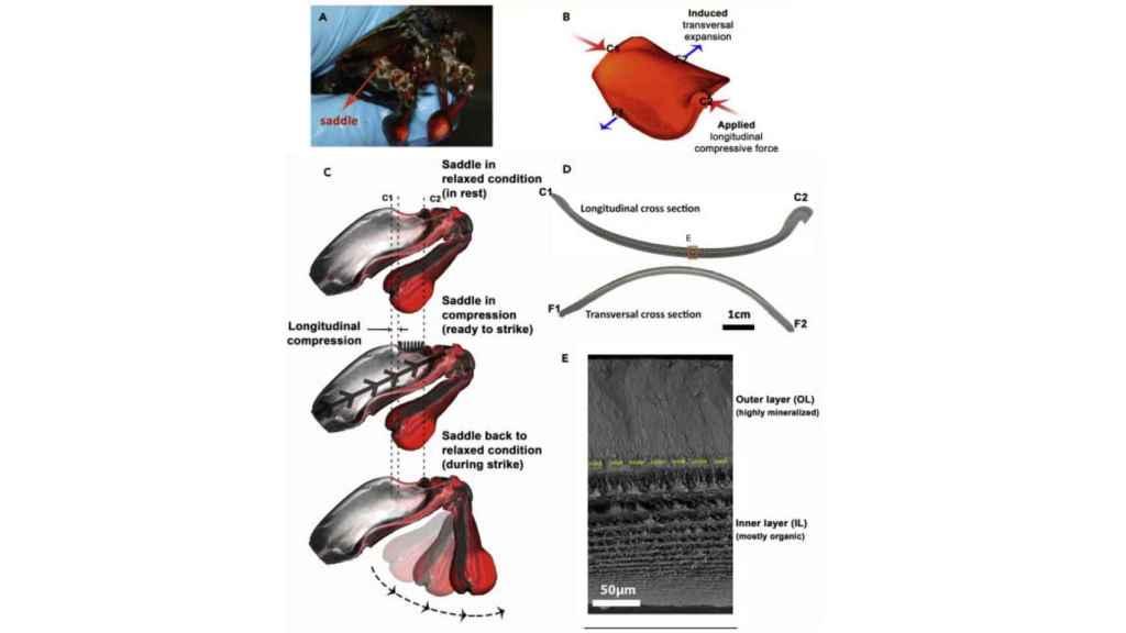 Descripción del mecanismo de los antebrazos de la gamba mantis.