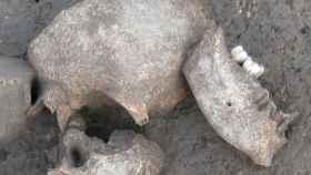Uno de los cráneos hallados en Le Cailar que refrenda la tesis de que los galos embalsamaban las cabezas de sus enemigos. Foto: Handout.
