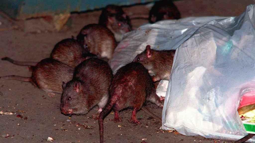 El contagio pudo producirse por excrementos de ratas urbanas.