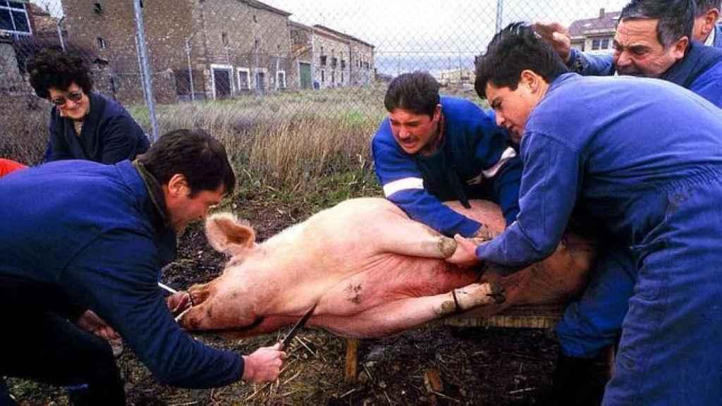 Varios hombres sujetan a un cerdo mientras otro está a punto pinchar al animal para matarlo y extraerle la sangre.