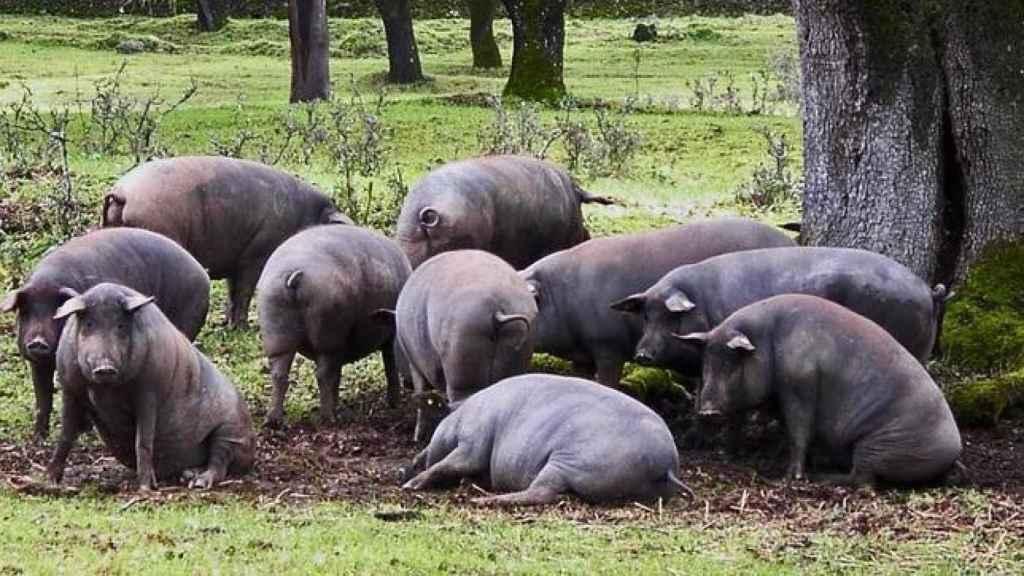 Piara de cerdos en una finca extremeña.
