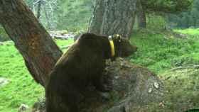 Goiat, el oso esloveno que aterroriza el Pirineo, con su característico collar de seguimiento