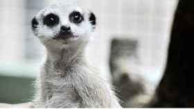 Un ejemplar de suricato observa a los visitantes del zoo