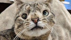 Los gatos con 'síndrome de Down' son lo más adorable que vas a ver