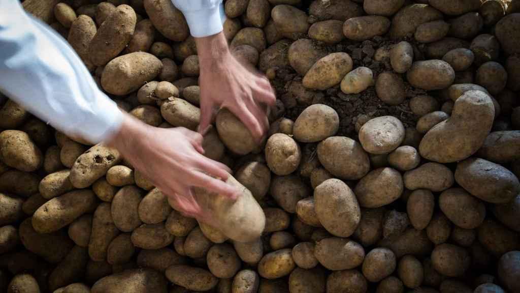 En su almacén hay 700 toneladas de patatas, que se liquidarán en apenas mes y medio.