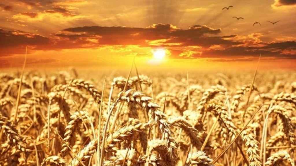trigo_campo_cultivo