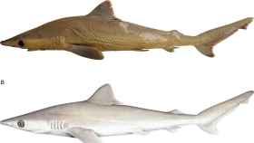 Vista lateral de Carcharhinus obsolerus en la figura superior y representación artística en la inferior