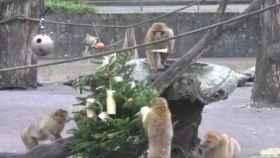 Los monos se pegaron un buen festín con el árbol de Navidad