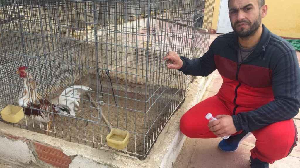 El Gordo muestra a Caramelito, uno de sus gallos