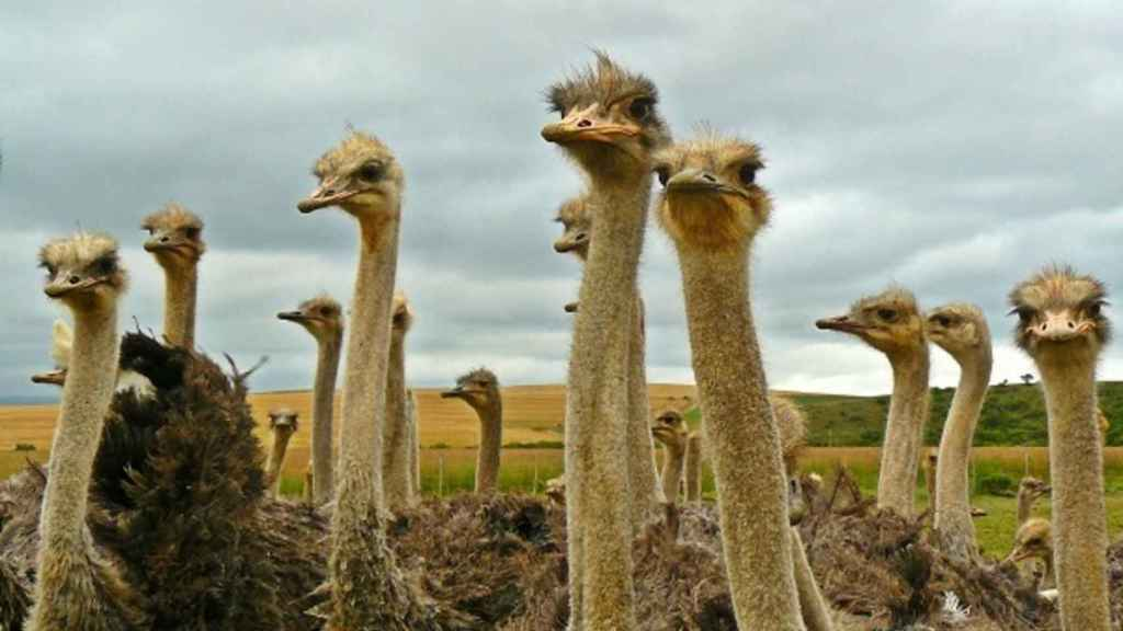 valores-avestruz