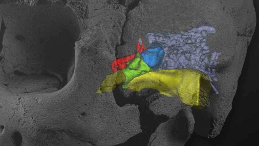 Montaje del Cráneo 5 de la Sima de los Huesos Miguelón con la reconstrucción virtual de las cavidades de su oído izquierdo