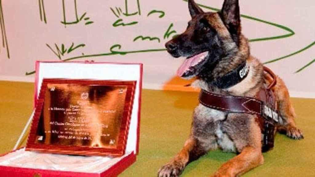 'Elton', perro de la Guardia Civil que rastreó a Diana Quer y Gabriel Cruz, entre otros.