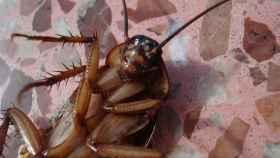 La cucarachas un insecto muy común