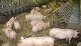 Imagen de una granja de cerdos