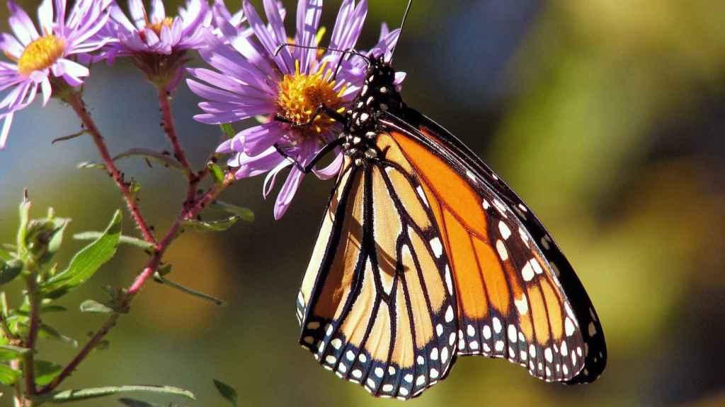 Las mariposas son uno de los insectos más afectados por esta extinción.