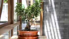 Cómo cuidar un bonsái, y mantenerlo muchos años