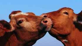 Tudder, el 'tinder' para emparejar ganado