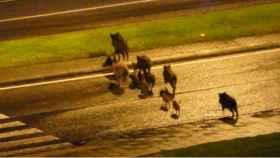 Un grupo de jabalíes en una ciudad.