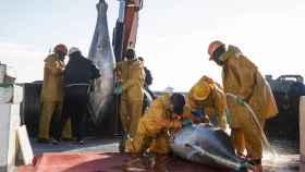 Un grupo de trabajadores de la empresa Ricardo Fuentes e Hijos ronquea a un atún rojo recién capturado. Se trata de la empresa líder de la industria del tunido del mundo.