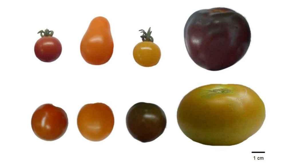 Las ocho variedades de tomate evaluadas.