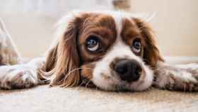 El perro es el único animal que te quiere más a ti que a el mismo