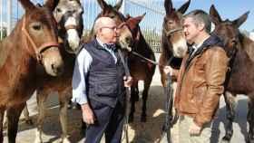 El empresario Antonio Ruiz Rojo posa junto a sus mulas en Lorca.