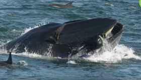 Una ballena rechaza a un buceador como tentempié.