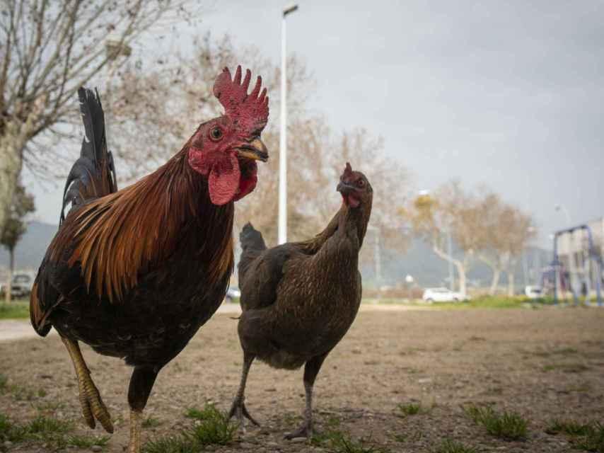 Dos gallos en mitad de una calle de Las Palmeras.