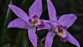 La Phalaenopsis es una de las orquídeas más sencillas de cultivar en casa