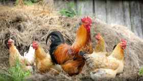 Los falsos mitos del pollo que siempre has oído