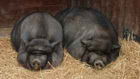 Cerdos vietnamitas.