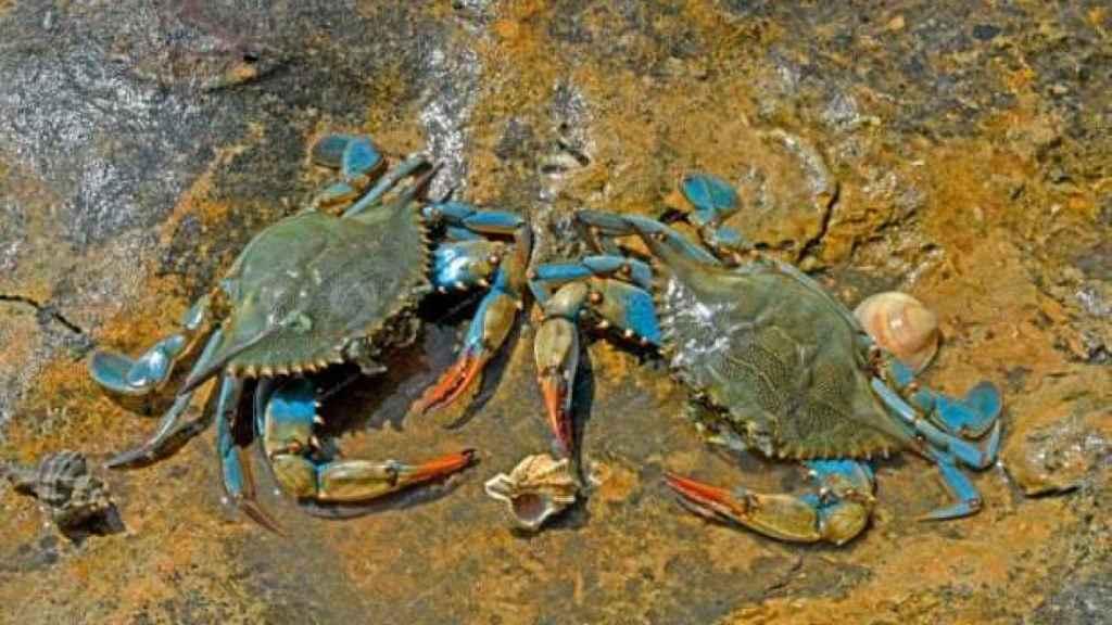 Hembras de cangrejo azul. Foto The Guardian, Jean-Claude Carton/Biosphoto